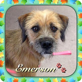 Wirehaired Fox Terrier/Boxer Mix Dog for adoption in Apex, North Carolina - Emmerson