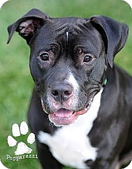 Rottweiler/American Staffordshire Terrier Mix Dog for adoption in Huntington Beach, California - Ryder