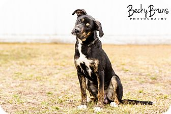 Mountain Cur Mix Puppy for adoption in Sauk Rapids, Minnesota - Toby
