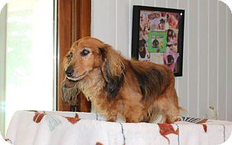 Dachshund Dog for adoption in Marcellus, Michigan - Tara