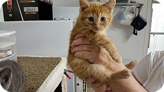 Domestic Shorthair Kitten for adoption in Irwin, Pennsylvania - Nevada
