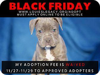 American Staffordshire Terrier/Pharaoh Hound Mix Puppy for adoption in Cincinnati, Ohio - Meatbal WAIVED FEE/BLACK FRIDA