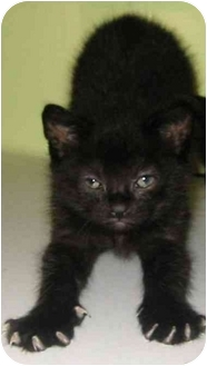 Domestic Shorthair Kitten for adoption in Chepachet, Rhode Island - Biscuit, Nugget, Blackie