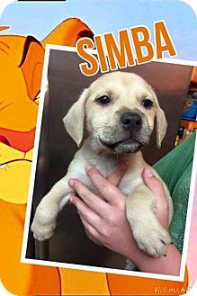 Labrador Retriever Mix Dog for adoption in House Springs, Missouri - simba