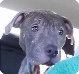 Pit Bull Terrier Dog for adoption in Fort Wayne, Indiana - Caesar