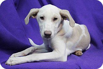 Labrador Retriever Mix Dog for adoption in Westminster, Colorado - Galatea