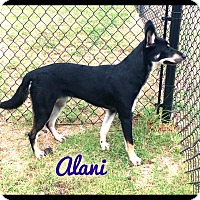 Adopt A Pet :: Alani (fostered in Dallas TX) - Cranston, RI