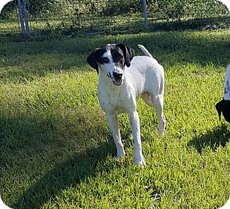 Labrador Retriever/Hound (Unknown Type) Mix Dog for adoption in Hammond, Louisiana - Oreo