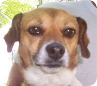 Chihuahua/Beagle Mix Dog for adoption in Campbellsville, Kentucky - Stacey