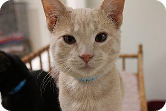 Domestic Shorthair Cat for adoption in Medina, Ohio - Dobby