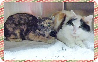 Domestic Shorthair Cat for adoption in Marietta, Georgia - MINDY & MISSY (R)