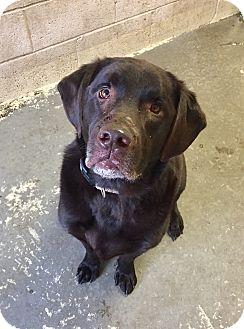 Labrador Retriever Mix Dog for adoption in Greensburg, Pennsylvania - Milo