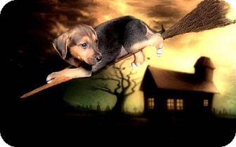 Shepherd (Unknown Type)/Labrador Retriever Mix Dog for adoption in Westminster, Colorado - Magic