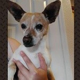 Chihuahua Mix Dog for adoption in Reno, Nevada - Mr. Toodles