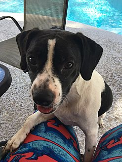 Beagle/Boston Terrier Mix Dog for adoption in Fort Myers, Florida - Chevy