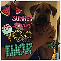 Adopt A Pet :: Thor - Brownsville, TX