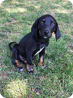 Shepherd (Unknown Type)/Labrador Retriever Mix Puppy for adoption in Staunton, Virginia - Peanut