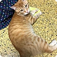 Adopt A Pet :: Pumpkin - Toledo, OH