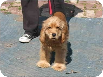 Cocker Spaniel Puppy for adoption in Drumright, Oklahoma - Bo