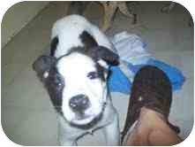 Terrier (Unknown Type, Medium) Mix Puppy for adoption in Foster, Rhode Island - Alvin