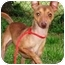 Photo 2 - Miniature Pinscher Mix Dog for adoption in Osseo, Minnesota - Peanut