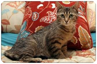 Domestic Shorthair Cat for adoption in Sterling Heights, Michigan - Jello - ADOPTED!