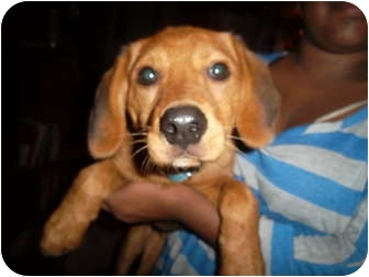Golden Retriever/Beagle Mix Puppy for adoption in through transport, Pennsylvania - Flapjack