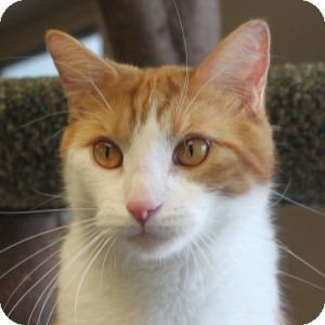 Domestic Shorthair Cat for adoption in Naperville, Illinois - Sonny
