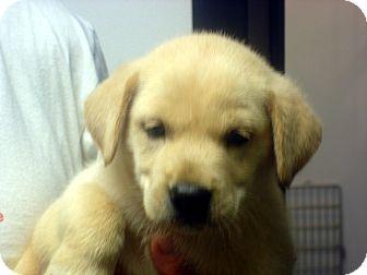 Labrador Retriever Mix Puppy for adoption in Manassas, Virginia - Indy
