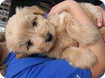 Labradoodle/Chow Chow Mix Puppy for adoption in Harbor City, California - bubbles