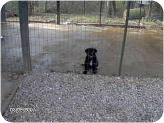 Labrador Retriever Mix Puppy for adoption in Cairo, Georgia - Dolly