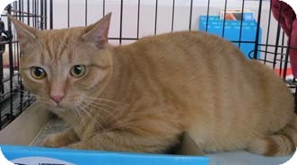 Domestic Shorthair Cat for adoption in Merrifield, Virginia - Scarlet