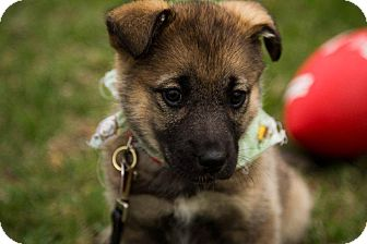 Shepherd (Unknown Type) Mix Puppy for adoption in Ile-Perrot, Quebec - Hiccup