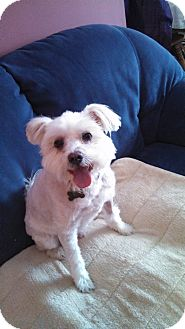 Westie, West Highland White Terrier/Maltese Mix Dog for adoption in Worcester, Massachusetts - Coco