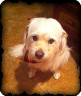 Havanese/Maltese Mix Dog for adoption in Fort Worth, Texas - HUDSON
