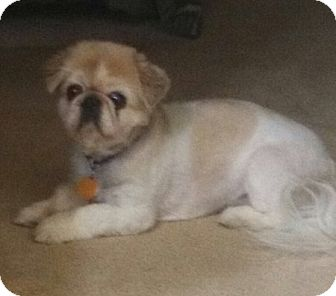 Pekingese Dog for adoption in Columbia Falls, Montana - Ruby- ADOPTED