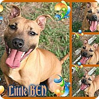Adopt A Pet :: Little Ben - Tampa, FL