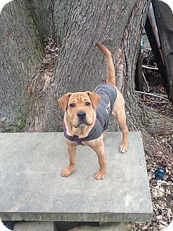 Shar Pei Mix Dog for adoption in Columbus, Ohio - Scout
