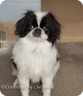 Japanese Chin Mix Dog for adoption in Sierra Vista, Arizona - Keanu