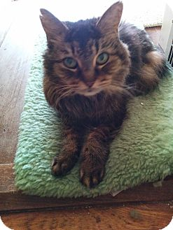 Domestic Shorthair Cat for adoption in Richfield, Ohio - Trixie
