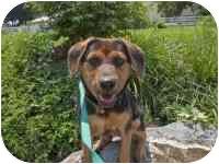 Beagle/Spaniel (Unknown Type) Mix Puppy for adoption in Ephrata, Pennsylvania - Zoey