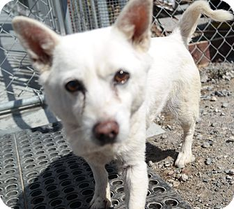 Labrador Retriever/Chihuahua Mix Dog for adoption in San Pablo, California - ANNIE