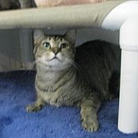 Domestic Shorthair Cat for adoption in Sebastian, Florida - Cole