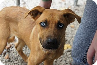 Labrador Retriever Mix Puppy for adoption in Henderson, North Carolina - Wilma