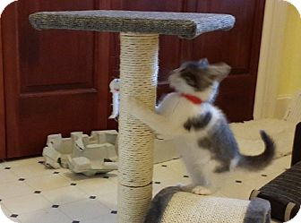 Domestic Shorthair Kitten for adoption in Oberlin, Ohio - Arty and Audrey