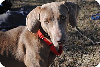 Weimaraner Mix Dog for adoption in Lafayette, New Jersey - Francis