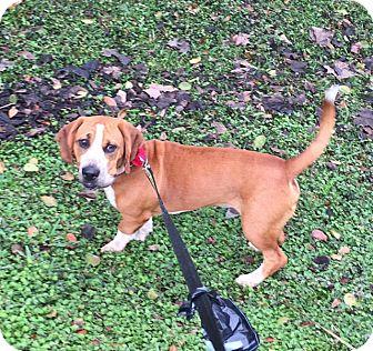 Basset Hound/Beagle Mix Dog for adoption in Jupiter, Florida - Flash