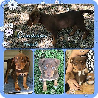 Labrador Retriever/Shepherd (Unknown Type) Mix Puppy for adoption in East Hartford, Connecticut - Cinnamon Adoption pending