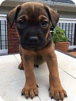 Rottweiler/Shepherd (Unknown Type) Mix Puppy for adoption in CUMMING, Georgia - Oscar