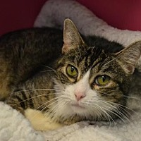Domestic Shorthair Cat for adoption in Akron, Ohio - Chondra